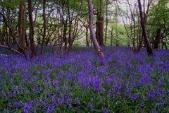 elmstedcourt-bluebells2012.jpg